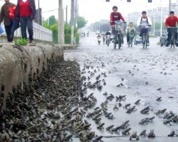 migrations massives de grenouilles, comme celle qui s'est produite cinq jours avant la catastrophe à Mianzhu, bourgade durement frappée par la catastrophe.